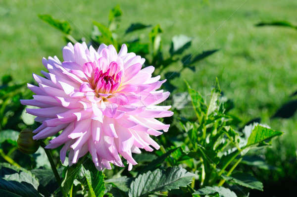 Dahlia on background of flowerbeds. Stock photo © alinamd