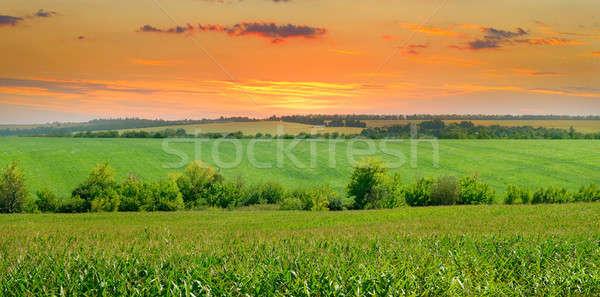 sunrise over the corn field Stock photo © alinamd
