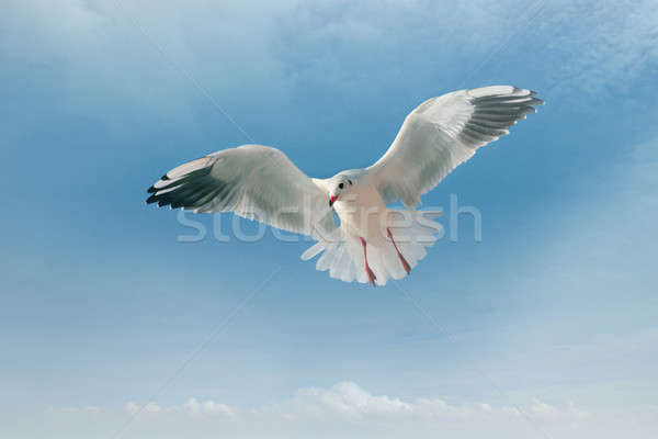 seagull and blue sky Stock photo © alinamd