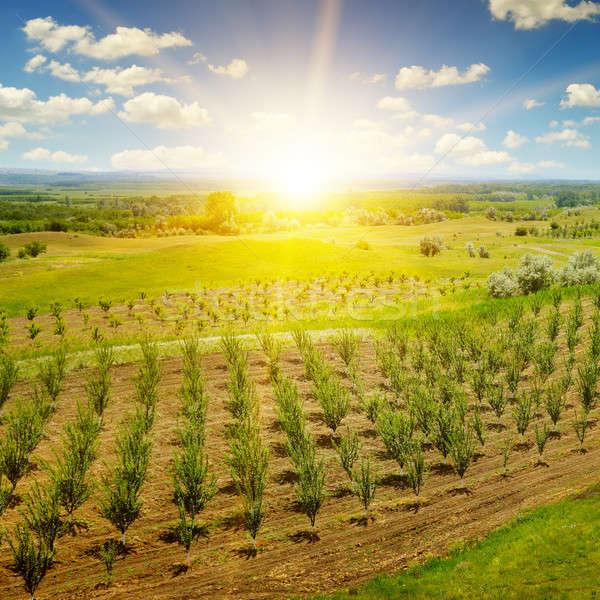 garden with fruit trees and sunrise Stock photo © alinamd