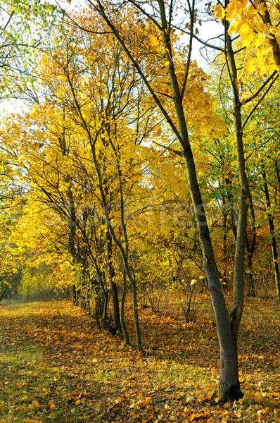 秋 森林 黄色 葉 木材 自然 ストックフォト © alinamd
