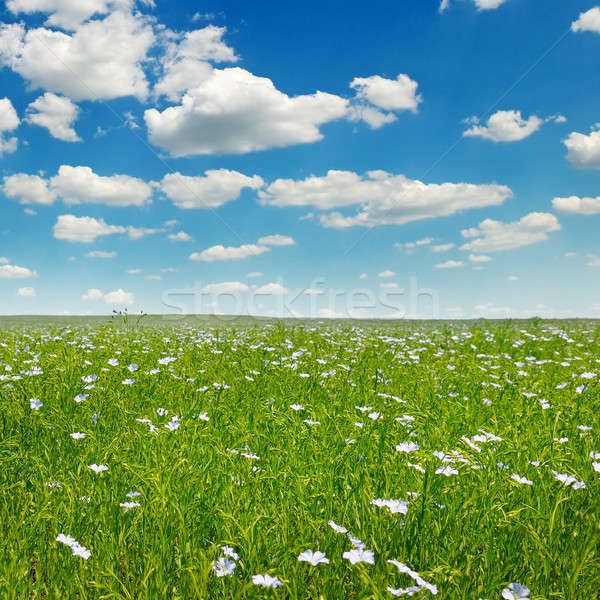 field with flowering flax and sky Stock photo © alinamd