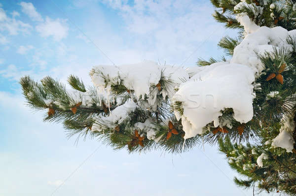 pine branch covered with snow against the blue sky Stock photo © alinamd
