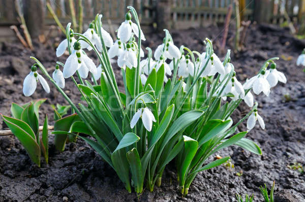 Spring snowdrop flowers against a background of black soil. Stock photo © alinamd