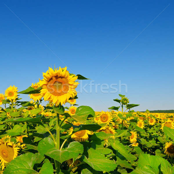 Sunflower flower against blue sky and a blossoming field Stock photo © alinamd