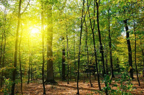 Stok fotoğraf: Sonbahar · orman · sarı · yaprakları · gün · batımı · güneş