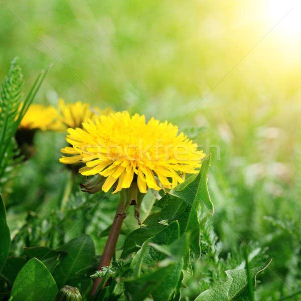dandelions on a green meadow Stock photo © alinamd