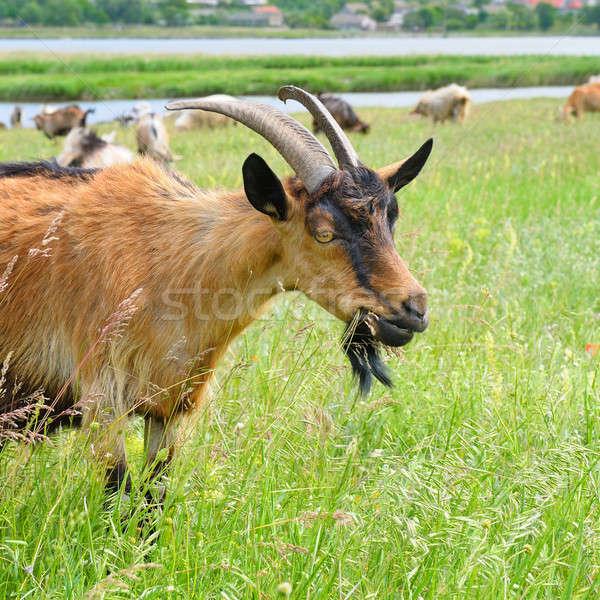 Házi kecskék testtartás tavasz háttér mező Stock fotó © alinamd