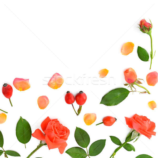 Pink roses isolated on white background. Flat lay, top view. Stock photo © alinamd
