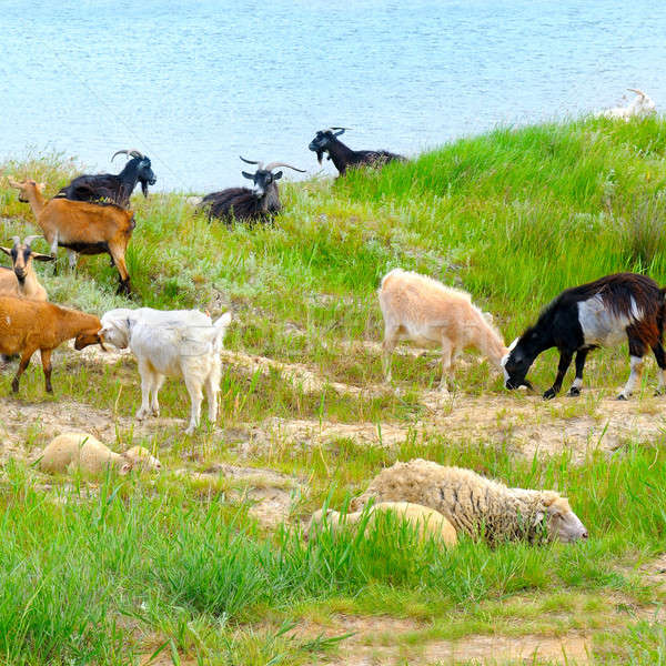 domestic goats grazing on pasture Stock photo © alinamd