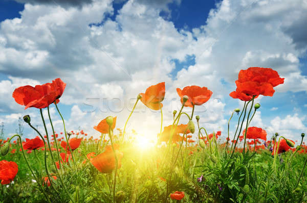 Dziedzinie maki słońce Błękitne niebo niebo chmury Zdjęcia stock © alinamd