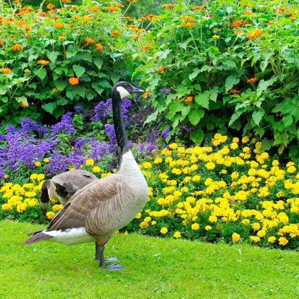 Gansos cama de flores flores jardín verano aves Foto stock © alinamd