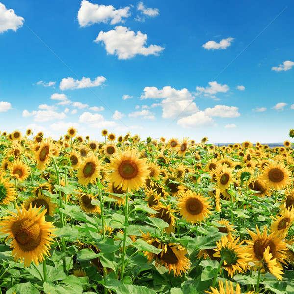 Foto stock: Girassol · campo · blue · sky · céu · primavera · fundo