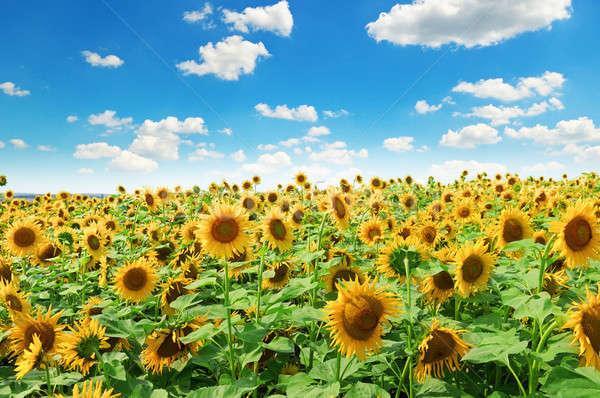 Foto stock: Girassol · campo · blue · sky · céu · flores · sol