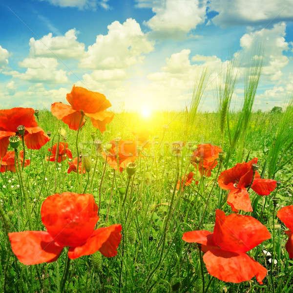 poppies field in rays sun Stock photo © alinamd