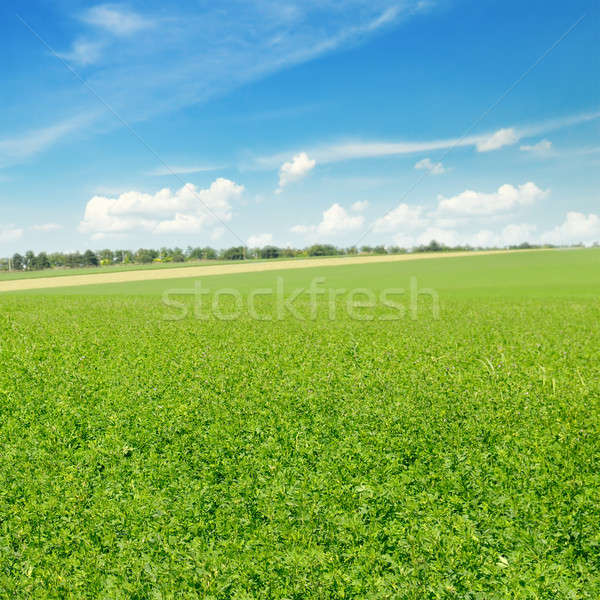 Pintoresco verde campo cielo azul primavera hierba Foto stock © alinamd