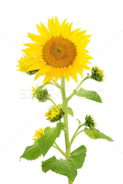Stockfoto: Bloem · zonnebloem · geïsoleerd · witte · bloem · witte · voorjaar