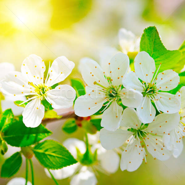 blooming branch of cherry in the sun Stock photo © alinamd
