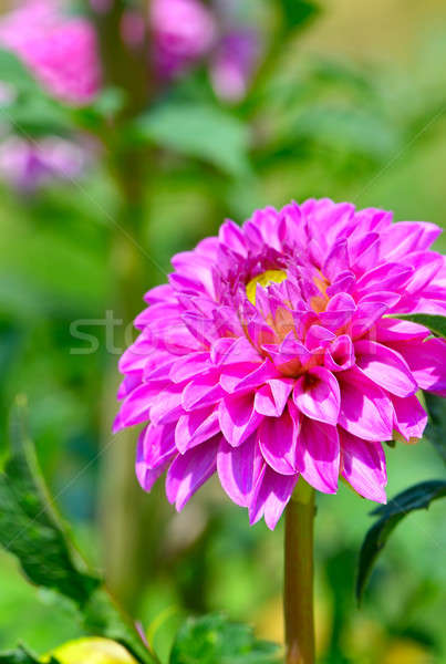 Stock photo: Dahlia on a background of flowerbeds. Focus on a flower. Shallow