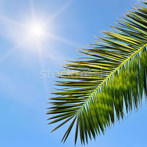 leaves of tropical palm trees and blue sky Stock photo © alinamd