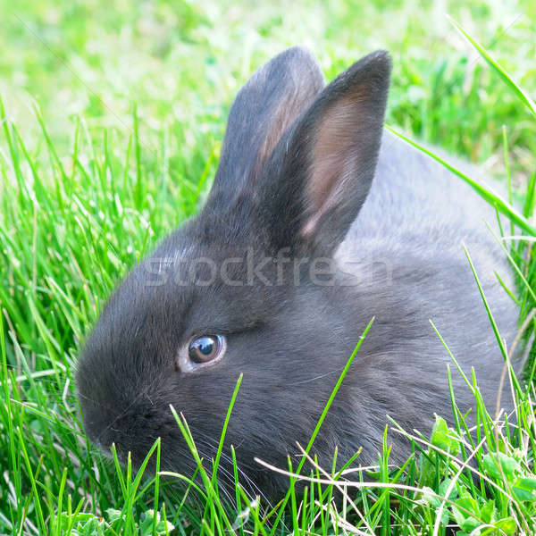 little rabbit on green grass background Stock photo © alinamd