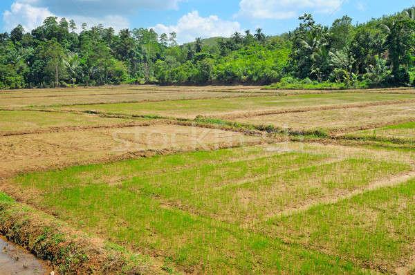 Velden rijst Sri Lanka boom voedsel Stockfoto © alinamd