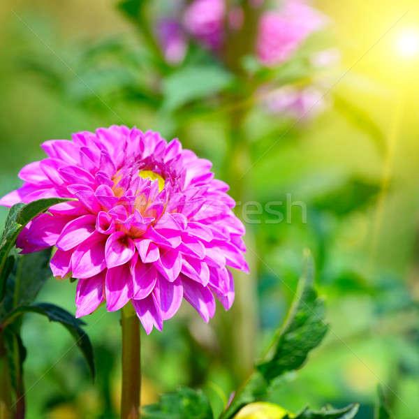 Stock photo: flower dahlia illuminated by sunlight. Focus on a flower. Shallo