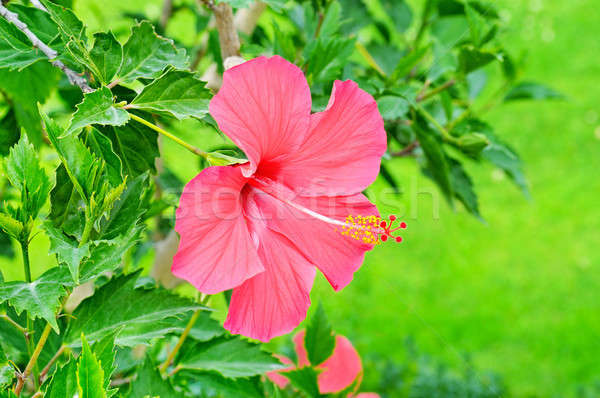 bright large flower of red hibiscus Stock photo © alinamd