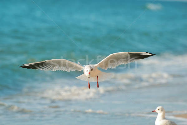 seagull flying over the sea Stock photo © alinamd