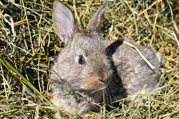pet rabbit on background of dry grass Stock photo © alinamd