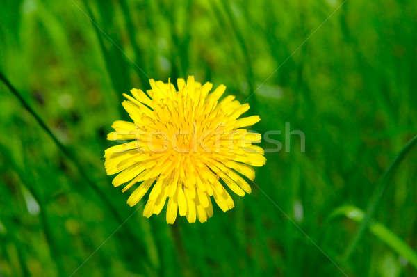 żółty zielone łące kwiaty wiosną Zdjęcia stock © alinamd