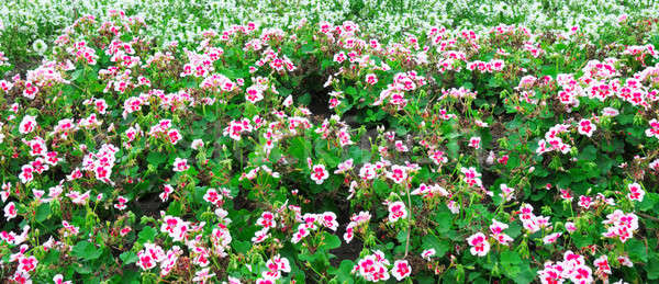 beautiful background of blooming geraniums Stock photo © alinamd