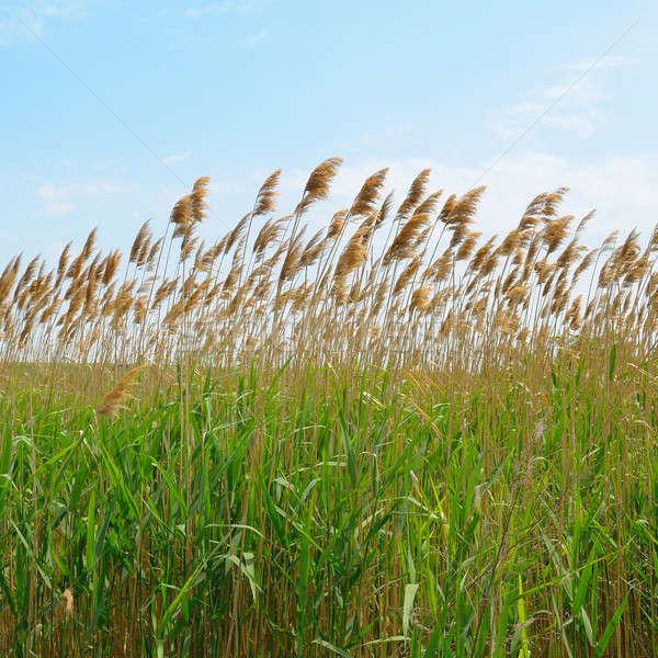 thicket of reeds Stock photo © alinamd