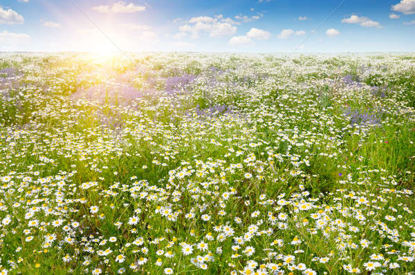 Field with daisies and sun on blue sky, focus on foreground Stock photo © alinamd