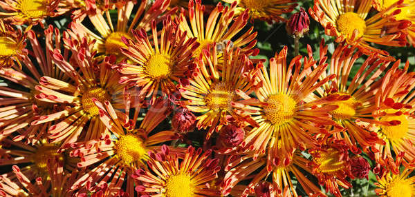 background of blooming chrysanthemums Stock photo © alinamd