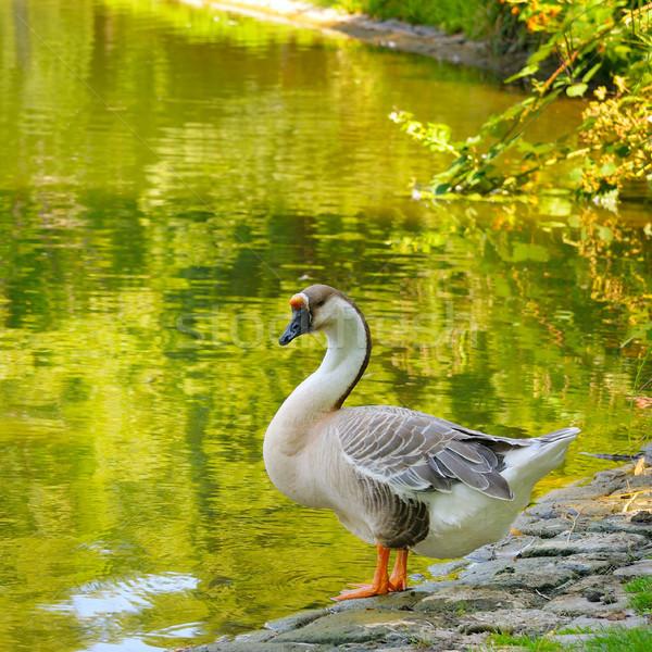 Grijs gans meer achtergrond zomer park Stockfoto © alinamd