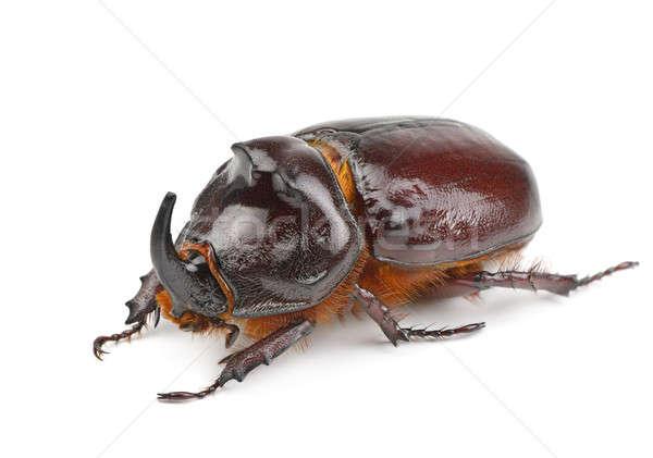 rhinoceros beetle isolated on white background Stock photo © alinamd