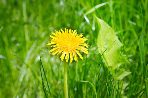 Amarelo leão verde prado flores primavera Foto stock © alinamd