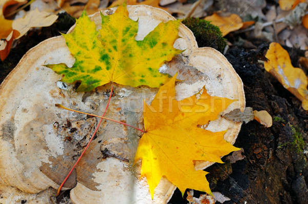 autumn maple leaves on an old stump in the woods Stock photo © alinamd