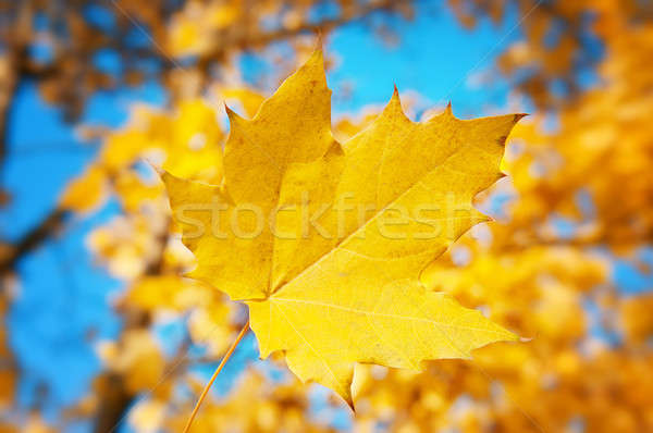 黄色 カエデの葉 青空 ツリー 森林 太陽 ストックフォト © alinamd