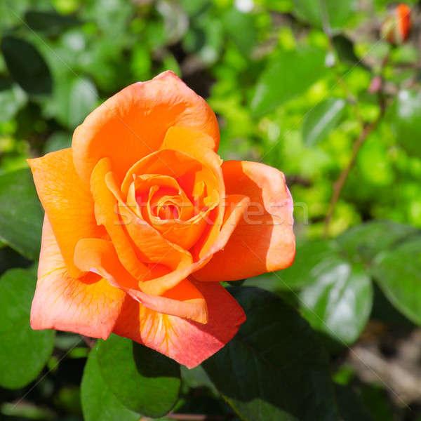 rose flower Stock photo © alinamd