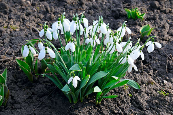 snowdrop on the background of the soil Stock photo © alinamd