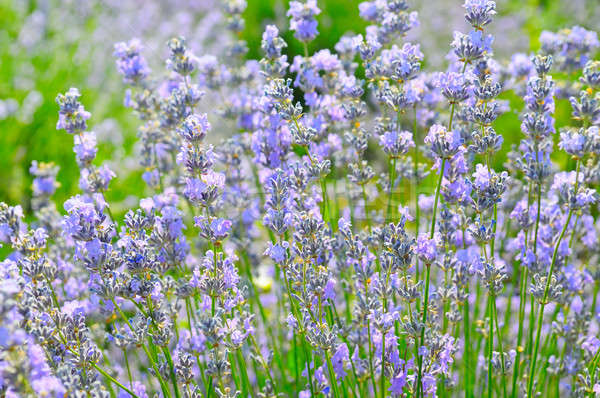 Bush lavendel zomer veld natuur Stockfoto © alinamd