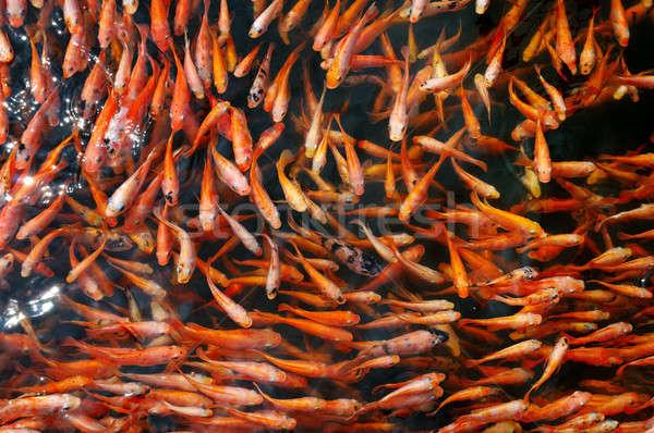 Sereg piros hal kicsi tó víz Stock fotó © alinamd
