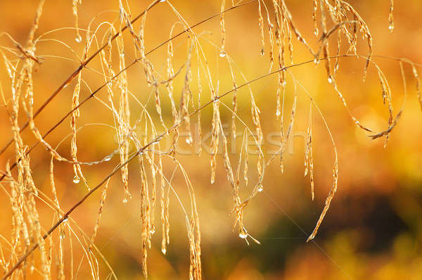Natural background of grass with drops of dew on the autumn mead Stock photo © AlisLuch