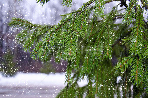 Branches of pine with drops and falling wet snow Stock photo © AlisLuch
