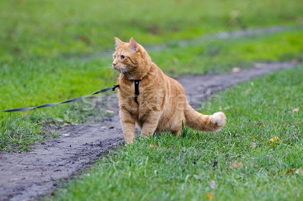 Red cat walking on a leash along the footpath on the background  Stock photo © AlisLuch