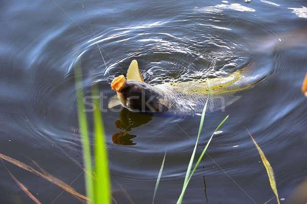Carpa isca água vara de pesca gancho Foto stock © AlisLuch