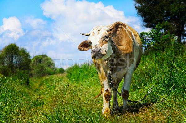Tehén néz kameralencse vidéki táj tájkép nyár Stock fotó © AlisLuch