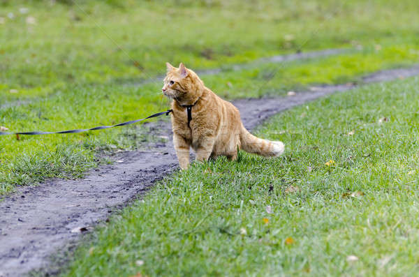 Red cat walking through the green grass on a leash Stock photo © AlisLuch